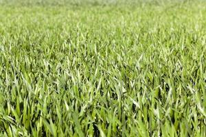 germen de trigo . de cerca foto