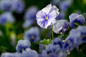 flores: pensamientos, violeta foto