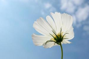 Single white Cosmos flower with blue sky background