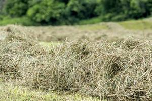 Hay windrow close up