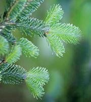 Fir branches close up