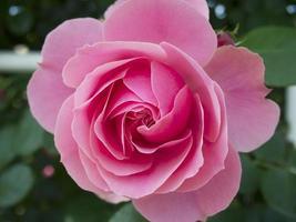 Flowering pink rose.