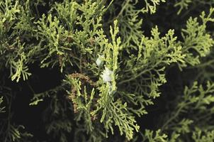 thuja close-up