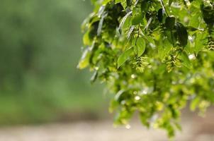 lluvia de verano en las hojas de los árboles