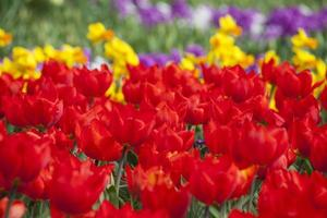 The blooming red tulips
