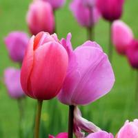 Tulips in close up.