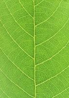 Green leaf - close up photo