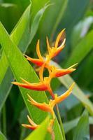flor de canna de cerca