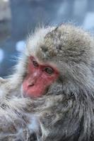 Snow monkey close up photo