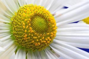 flor de manzanilla de cerca foto