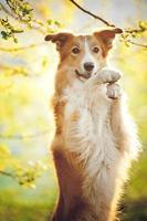 Border collie portrait on sunshine background photo