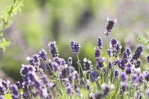 Lavender in the field photo