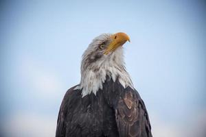 águila calva de cerca foto