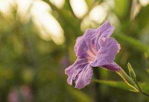 lilac flower photo