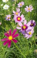 Cosmos flowers on plant photo