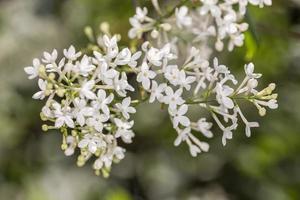 Lila blanca de cerca