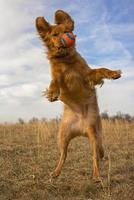 Energetic golden retriever leaping in mid air photo
