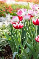 Red tulips and pink tulip