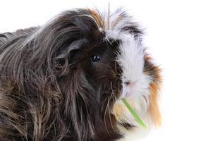 Guinea pig close-up