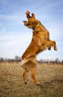 Golden retriever saltando con bola naranja en la punta de la nariz foto