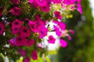 petunia fiore con bokeh