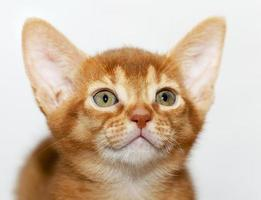 Abyssinian kitten   close-up photo
