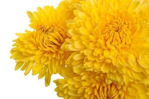 crisantemos amarillos de cerca