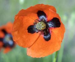 Poppy flower close up photo