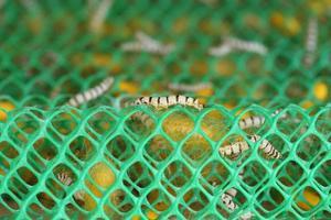 cerca de gusano de seda foto
