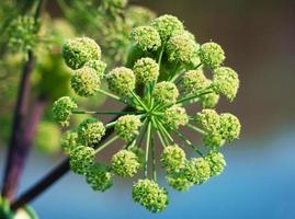 Angelica plan. Close-up photo