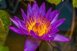 close-up pink lotus. photo