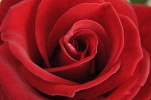 rosa roja de cerca
