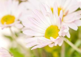 daisies close up background
