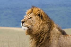 león macho de cerca foto