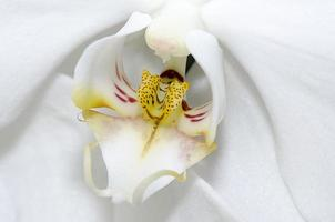 orquídea branca close-up