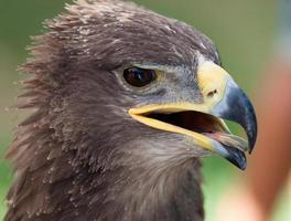 aigle royal bouchent