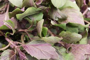 Fresh basil close-up photo