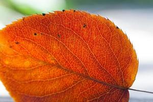 Aspen leaf. Close-up.