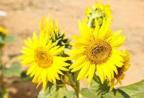 Close up beautiful sunflower