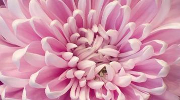 crisantemo rosado de cerca