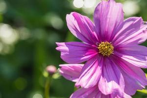 Close up cosmos flower