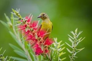 pájaro del sol simple (anthreptes simplex) foto