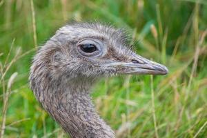 Darwin's rhea close up photo
