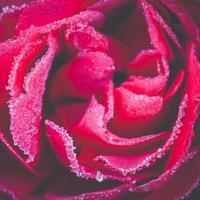 Frozen rose, close up