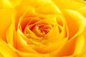 gele roos close-up