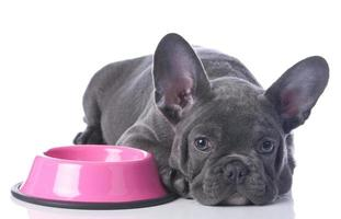 French bull dog with ears up lying next to food bowl