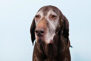 perro viejo retrato