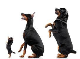 grupo de perros (chihuahua, doberman, rottweiler)