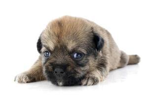 chihuahua cachorro foto