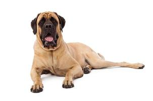 Attentive Mastiff Dog Laying